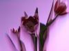 Petra Kretzschmar: Rosa Tulpen 1